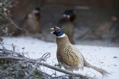 Lintujen ulkonapitokielto aikaistuu lintuinfluenssan vuoksi helmikuun alkupuolelle