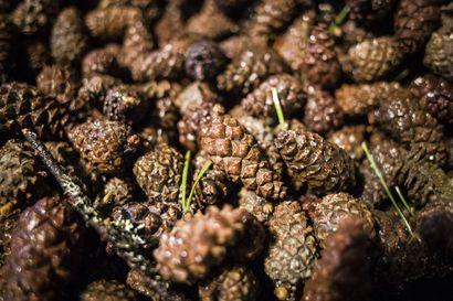Varmuusvarastoilla turvataan metsäpuiden siementen riittävyys – Metsähallitus aloittaa siemenkeräyksen Pohjois-Suomessa