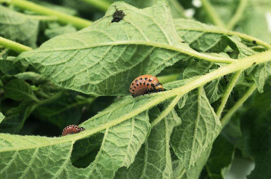 Koloradonkuoriaisen toukka kehittyy nopeasti sellaiseksi, että sen selkä on oranssin-punertava.