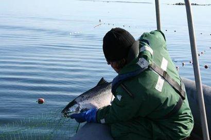 Satelliittikuvat ensi kertaa apuna kalastuksenvalvonnassa Pohjanlahdella – rasvaevällisen luonnonlohen laiton kalastus voi tuoda tuhansien eurojen laskun