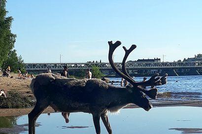 """Veteen ja hiekalle papanoivat porot ovat riesana Ounaskosken uimarannalla – """"Uimaranta pitäisi aidata"""""""