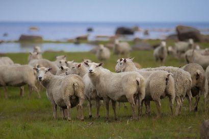 Susi lammasten vaatteissa: Hirvittävää eläinrääkkäystä, kauhistelee Nikkilän Matti