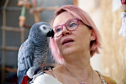 """""""Mamman mussukka"""" – katso videolta, miten oululaisen Kristiina Keskinarkauksen hurmaava Kalle-papukaija osaa puhua"""