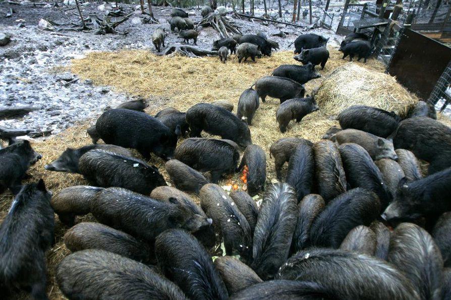 Villisikojen määrä on ollut viime vuodet Suomessa kovassa kasvussa. Aivan kuvassa näkyvän kaltaiseen vilinään ei vapaana luonnossa kuitenkaan törmää. Nämä otukset on kuvattu tarhassa Keski-Suomessa.