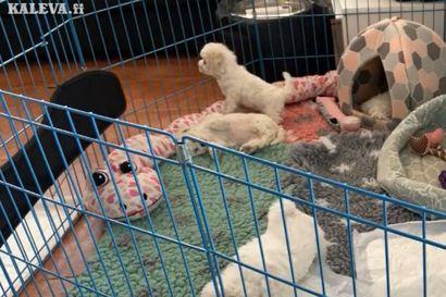 Kalevan koiranpentulive –  katso pörröisten pentujen temmellystä videolla