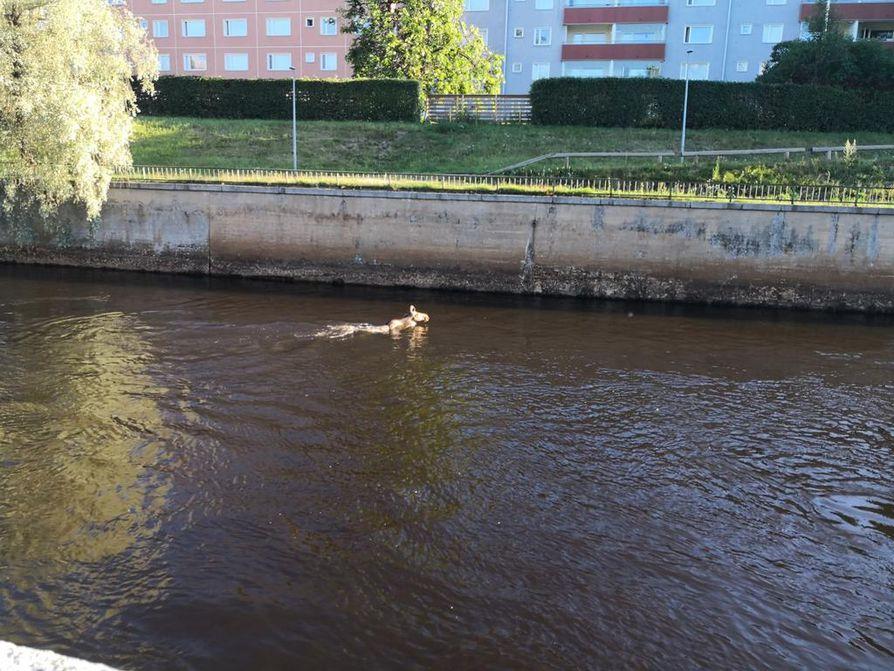Kaksi hirvistä päätyi alakanavaan uimaan, kertoo kuvan lähettänyt lukija.