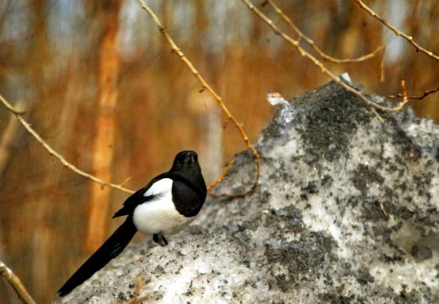Oksa nokassa lentävä harakka on varma kevään merkki.