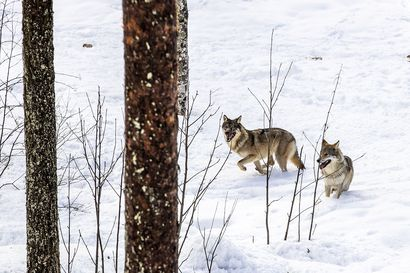 Kannanotto: Susien kannanhoidollista metsästystä tarvitaan