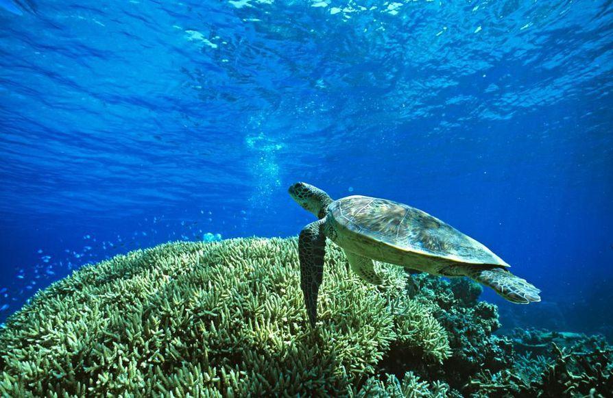 Liemikilpikonnayksilö on yhä todennäköisemmin naaras. Konna uimassa Australian Isolla valliriutalla Acropora-korallien yllä.