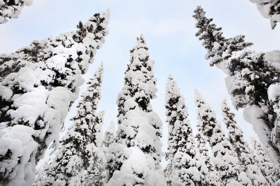 Pohjolanvaaran vanhat kuuset seisoivat paksun lumikuorman alla tammikuussa.
