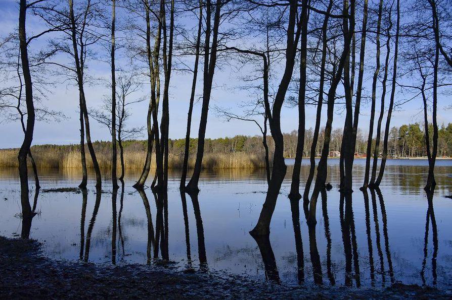 RAUMA: Lumettoman ja vesisateiden leimaaman lounaisrannikon vesiteemaa on Satakunnassakin vahvistanut korkealle noussut merivesi. Lepänjuuret kastuivat tällä viikolla Rauman Salinkedonlahdella.
