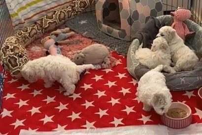 Kalevan koiranpentulive –  katso,  mitä pörröisille pennuille kuuluu tiistaiaamuna