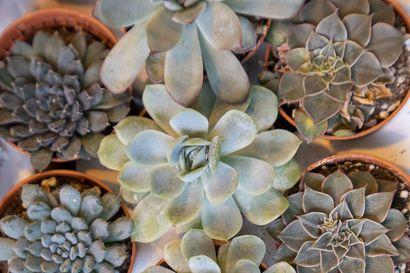 Erilaiset mehikasvit tuovat iloa syksyynkin sekä sisällä että ulkona,  ihmeelliset tillandsiat puolestaan viihdyttävät sisätiloissa – katso kuvia eksoottisista huonekasveista