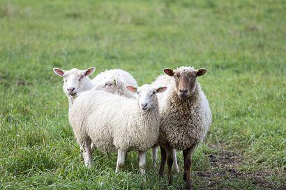 Kotieläimiä suojataan susivahingoilta uusin keinoin myös Pohjois-Pohjanmaalla – gps-pantoja ja ihmishahmoisia karkottimia