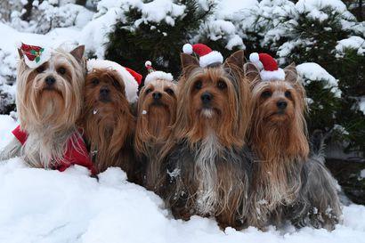 Joulukuun lukijakuvassa karvakuonot poseeraavat joulutervehdyksessä Kempeleessä