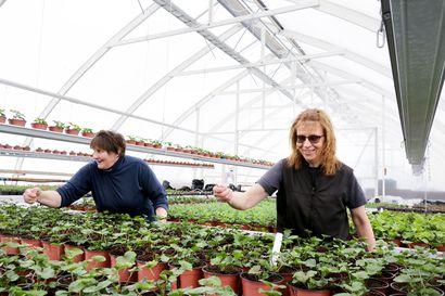 Kesän väriloisto lähtee täältä – Tornion kaupunki kasvattaa 10000 kesäkukkaa omassa kasvihuoneessa.