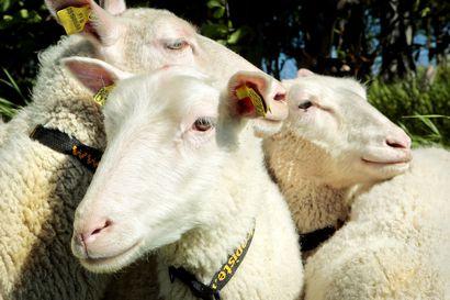"""Kahden suden hyökkäämäksi Limingassa joutuneita lampaita kuollut jo 25 – """"Puremajälkiä on löytynyt lampaista jälkikäteen"""", lampuri kertoo"""
