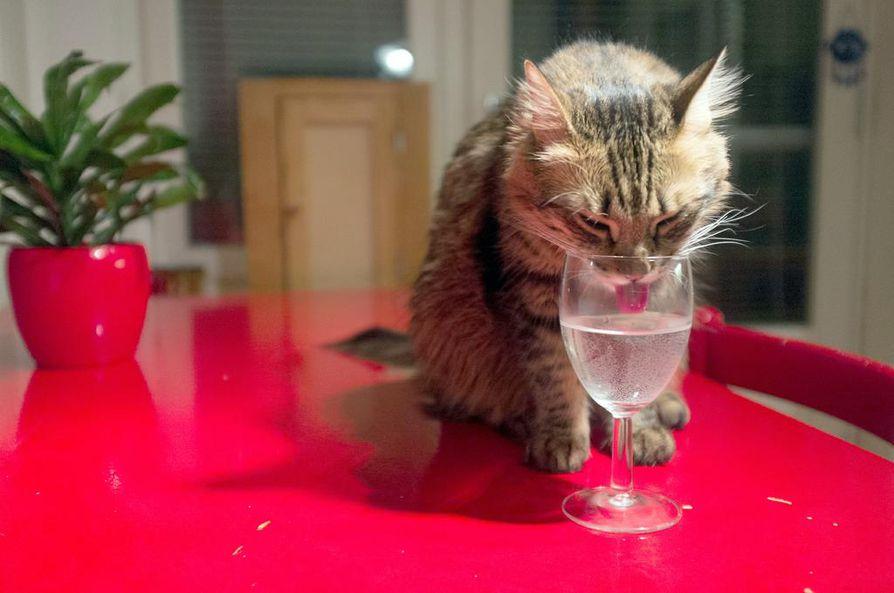 Vilkas, notkea ja kekseliäs kissa päätyy helposti paikkoihin, jotka eivät ole sille sallittuja. Kissa oppii tunnistamaan tiukkasävyisen kiellon, ja sitä kannattaa käyttää johdonmukaisesti.