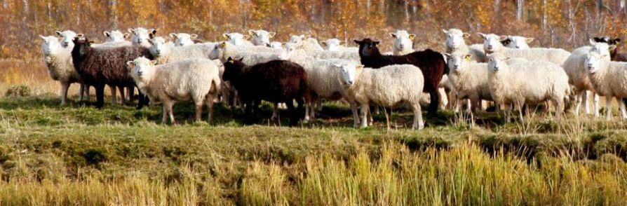 Lammaspaimenen pitää maksaa työstään Suomessa.
