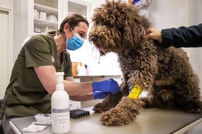 Kaksivuotias Sulo-koira olisi kuollut ilman vapaaehtoiskoiran luovuttamaa verta – Lapissa verensiirtoja tehdään  yleensä vain yksityisillä eläinlääkäriasemilla