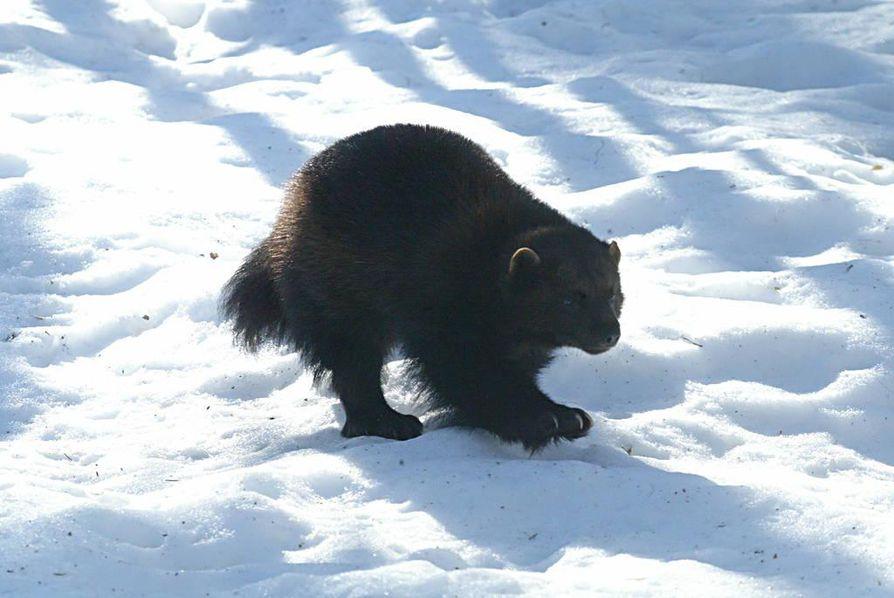 Tämän talven lumiolosuhteet ovat ahman kannalta suotuisia.