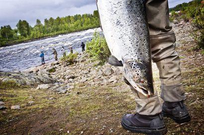 Tornionjoen lohikesästä tulee kolmanneksi paras – Kuolleista kaloista vain muutama näyte Ruokavirastolle