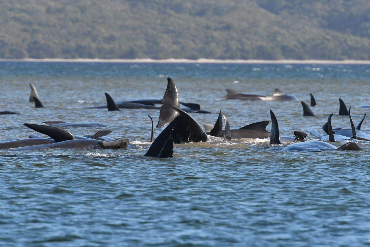 Pelastajat auttavat satoja hiekkaan juuttuneita valaita Australiassa – Tutkijat eivät tiedä varmaa syytä valaiden käytökseen, mutta kaksi syytä selittää joukkorantautumisia