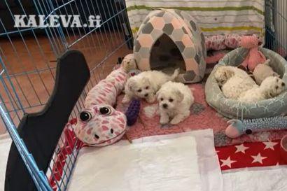 Kalevan koiranpentulive –  katso, mitä jännittävää pennuille kuuluu lauantaiaamuna