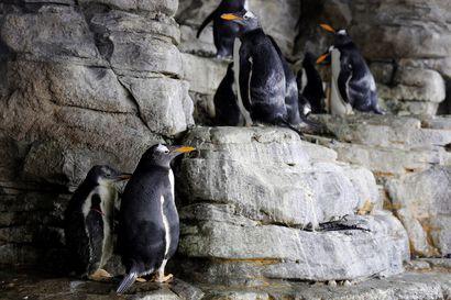 Pingviinit eivät ole lähtöisin Etelämantereelta, selviää tuoreesta tutkimuksesta – 12 miljoonaa vuotta sitten kaksi lajia erkaantui muista ja päätyi jäätiköille
