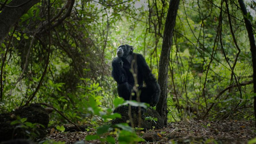David-simpanssi patsastelee Senegalissa Länsi-Afrikan tropiikissa. Tässä se on vielä laumansa alfauros.