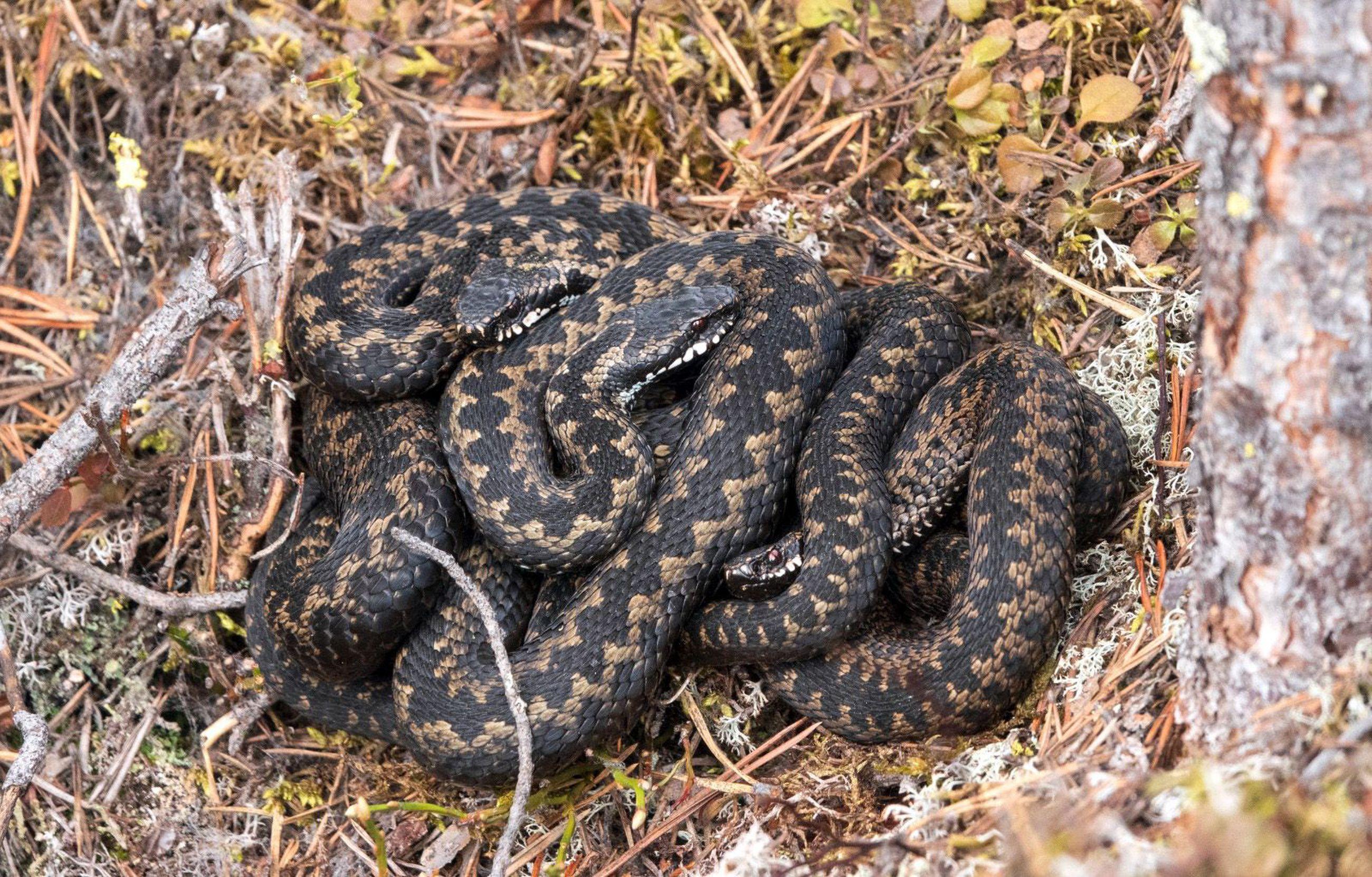 Kyykäärmeet