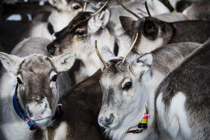 Liikkuuko Rukan alueella susia tai karhuja? Alueelta on löytynyt tapettuja poroja, Kuusamon poliisille ei ole tullut hälytyksiä suurpetoihin liittyen – selvitimme, onko alueella suurpetovaaraa