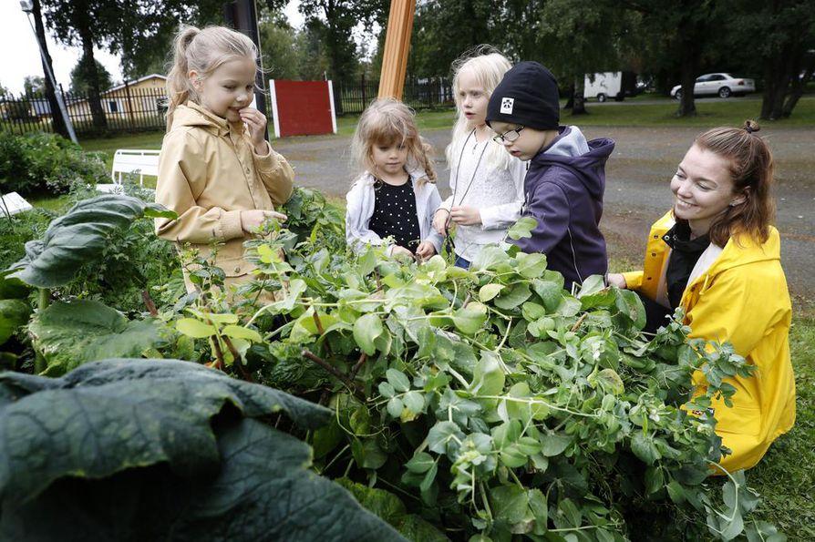 Amanda Silvennoiselle, Sipsu Lammille, Juno Korpiselle ja Valo Silvennoiselle maistuvat tuoreet herneet. Minna Kaunisvaara onkin tyytyväinen viljelylaatikon satoon.