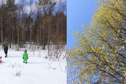 24,1 astetta– lämpöennätys meni sunnuntaina uusiksi! Vuosi sitten käveltiin hangilla, nyt koivussa on lehti: lähetä oma kuvaparisi!