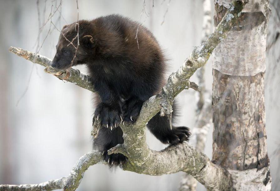 Ministeriön asetus sallii kahdeksan ahman rajoitetun metsästyksen.