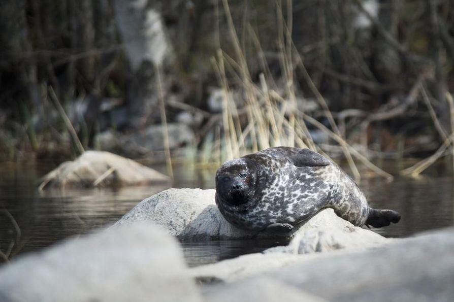 Saimaannorppa on yksi Suomen uhanalaisimmista nisäkkäistä.