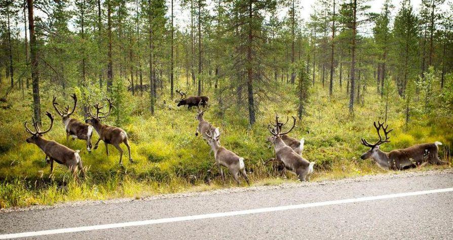 Moottoripyöräilijä sai vähäisiä vammoja väistäessään poroa Suomussalmella.