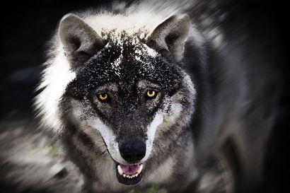 Susilaumoja entistä enemmän läntisessä Suomessa – Metsästäjäliitto haluaisi kaataa susia