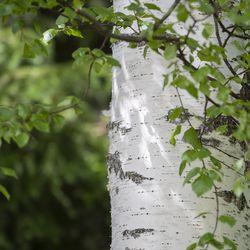 Koivu on aito metsäsuomalainen, jolle viileys on hellesäätä mieluisampaa