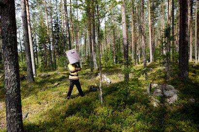 Thaimaan marjanpoimijat pääsevät Suomeen, tulolle asetettu tarkat ehdot – viisumikäsittely alkaa ensi viikolla