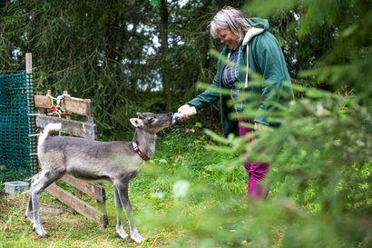 """Kyliltä kuuluu: """"Jos joku olisi sanonut 30 vuotta sitten, että syötän täällä poroa, olisin nauranut"""" –Marketta Marttanen muutti Kuontivaaraan miehen perässä: Aikoinaan Kuontivaaraan synnyttiin, nyt muutetaankin"""