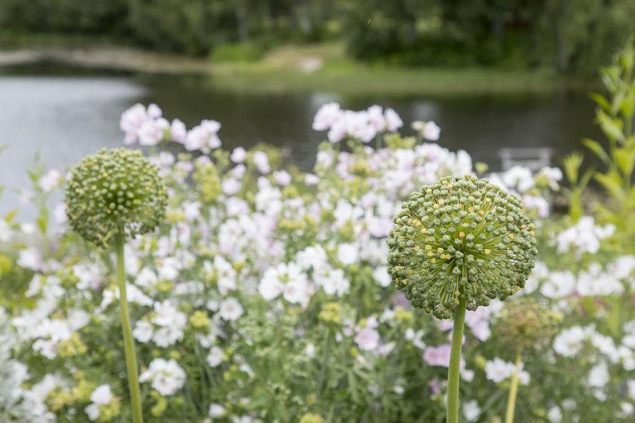 """Kivikkopuutarhassa kasvaa myös ruusumalvaa. Etualalla oleva """"Mount Everest"""" (Allium) on siemenvaiheessa."""