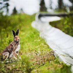 """Lapissa ei ole nähty viitteitä jänisrutosta, toisin kuin länsinaapurissa Norrbottenissa: """"Havaintoja voi alkaa tulla, kun metsästäjät lähtevät kauden alettua metsiin"""""""