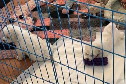 Kalevan koiranpentulive: Seitsemän viikkoa vanhat pörröturkit touhuavat
