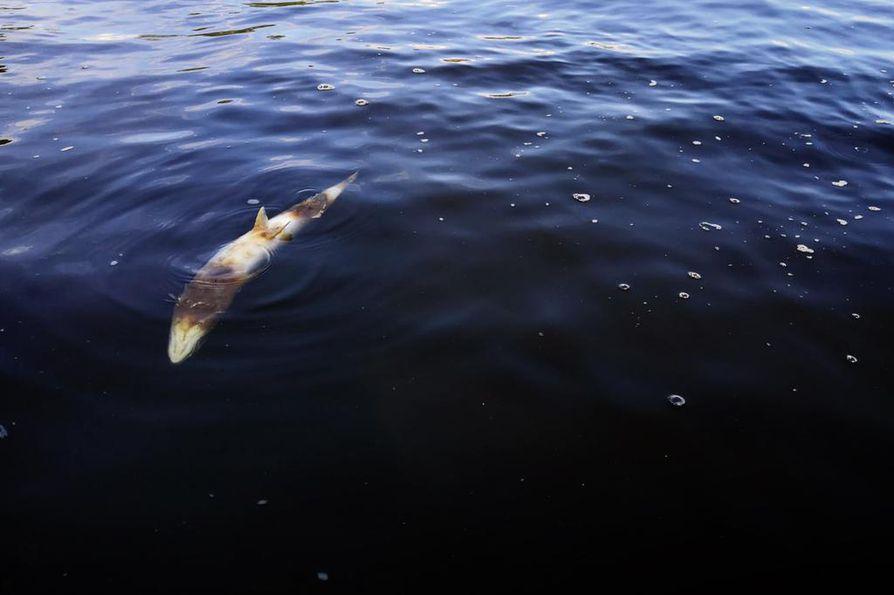 Tornionjoella on havaittu tänäkin kesänä paljon kuolleita lohia. Ilmiölle ei ole ainakaan vielä löytynyt selitystä. Kuollut lohi kellui Kolarin eteläosissa heinäkuun puolenvälin jälkeen.