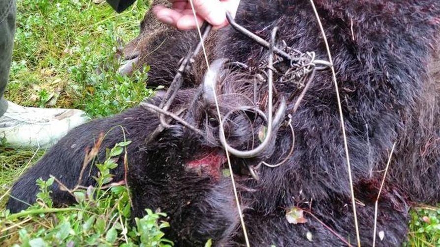 Anssi Määtän buonna 2016 ampuman karhun jalassa oli kiinni minkkirauta.