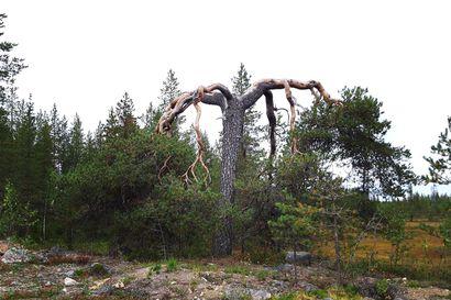 Aihkimänty päätettiin suojella Siika-Kämässä Rovaniemellä