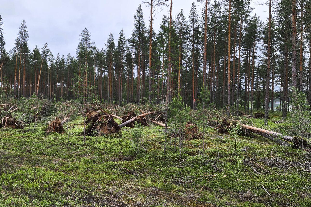 Hakkuut siirtyvät myrskytuhojen korjuun tieltä – juurineen kaatuneista puista voi saada vielä tukkeja