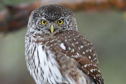Pienin pöllömme on talvisin rohkeampi: Keijo Ahistus sai söpön valokuvamallin pihamäntyynsä