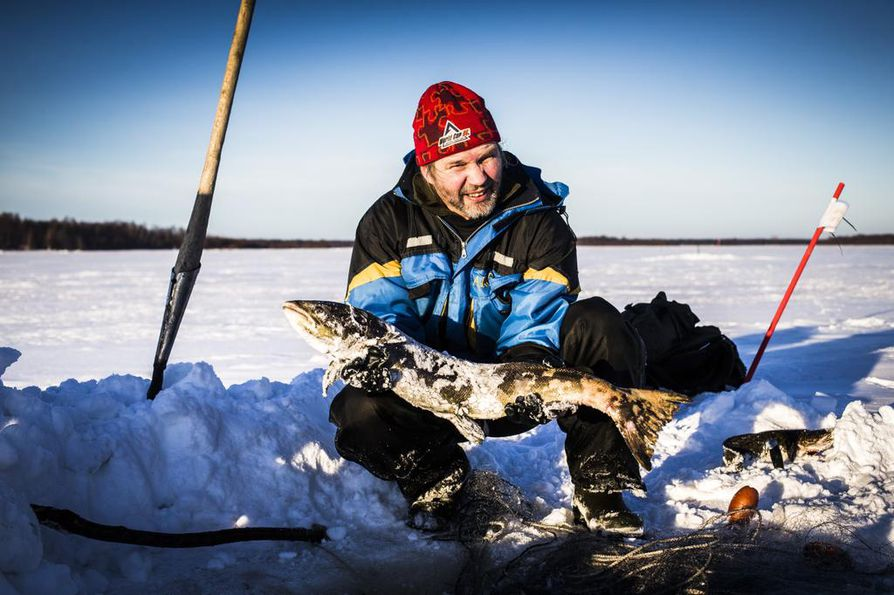 Tällä reissulla saaliiksi tuli 3 lisää. Yhteensä sairaita kaloja on jo 136. Jos tahti jatkuu samana, tänä talvena neljään haukiverkkoon sotkeutuu yli 200 sairasta lohta.